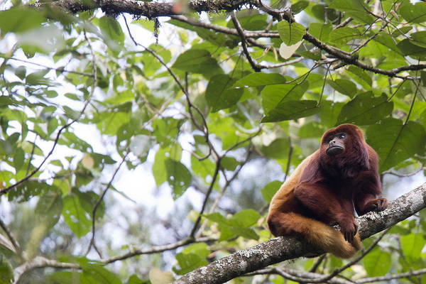 Red Howler Monkey Sitting In A Tree Poster