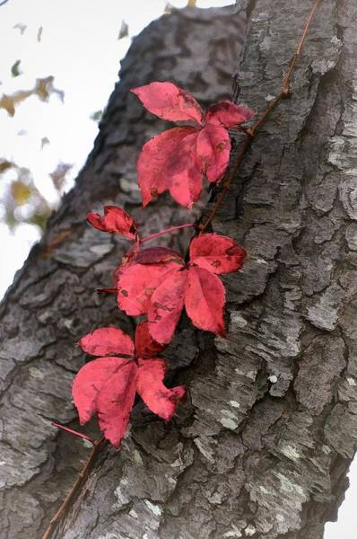 Red Leaves On Bark Poster