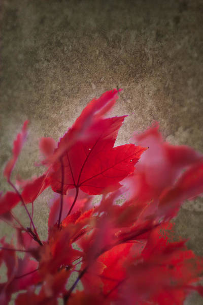 Red Maple Dreams Poster