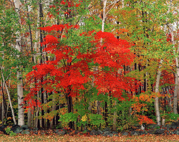Red Maple Tree And White Birch Trees In Poster