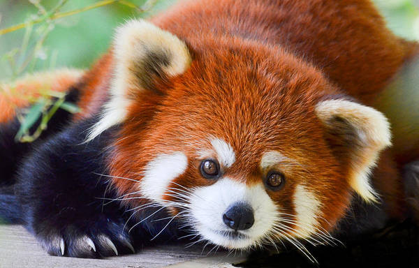 Poster featuring the photograph Red Panda by Michael Hubley