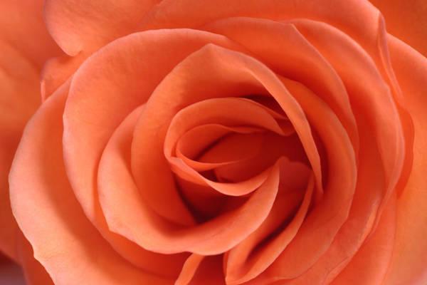 Red Rose Floribunda Closeup Poster