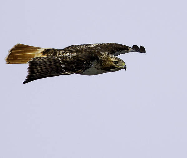 Red-tailed Hawk In Flight 2 Poster