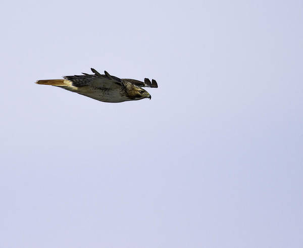 Red-tailed Hawk In Flight 3 Poster