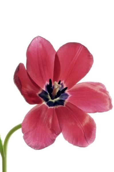 Red Transparent Tulip Poster