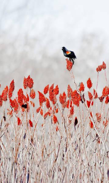 Red Winged Blackbird On Sumac Poster