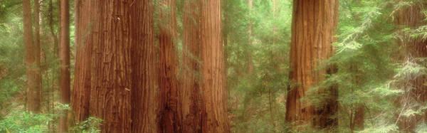 Redwood Trees, Muir Woods, California Poster