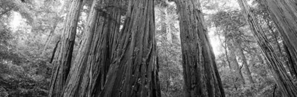 Redwood Trees, Muir Woods National Poster