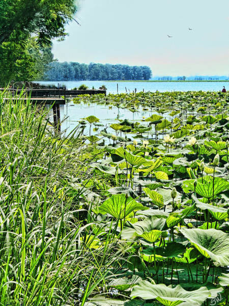 Reelfoot Lake Lilly Pads Poster