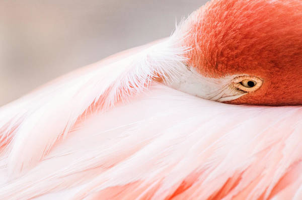Resting Flamingo Poster