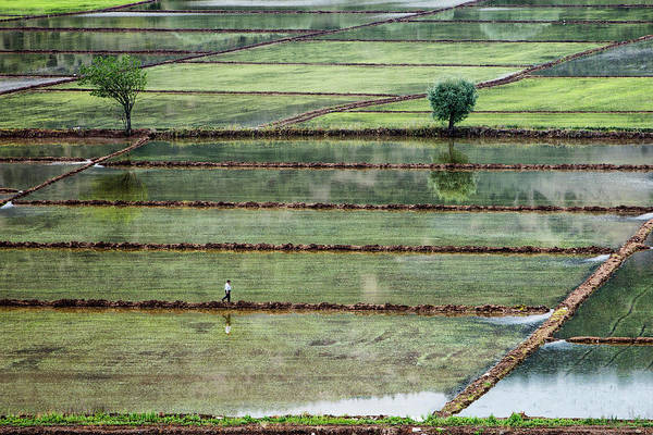 Rice Field On Man Poster