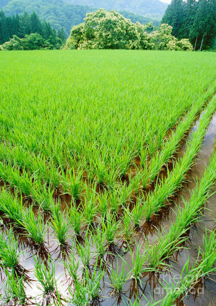 Rice Paddy Poster