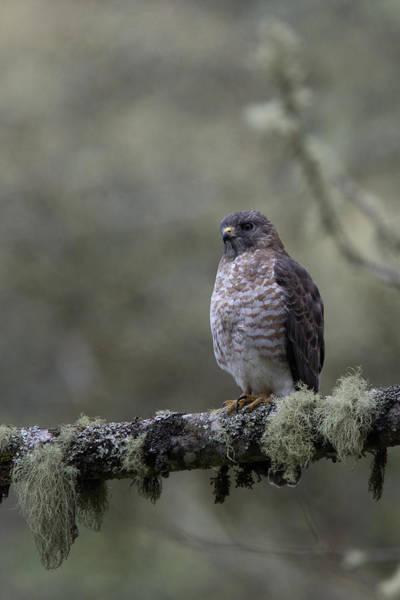 Roadside Hawk On Lichen-covered Branch 1 Poster