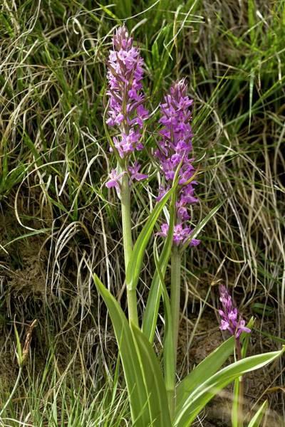 Robust Marsh Orchid (dactylorhiza Elata) Poster