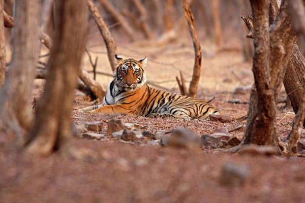 Royal Bengal Tiger, Ranthambhor Poster