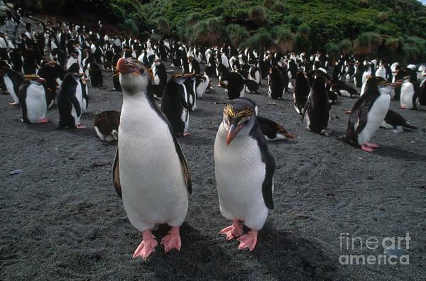 Royal Penguins Poster