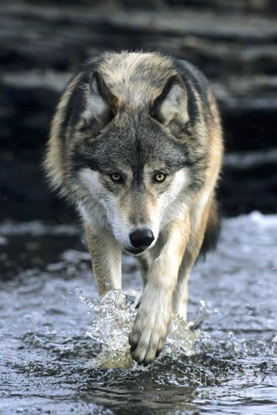 Running Wolf Poster
