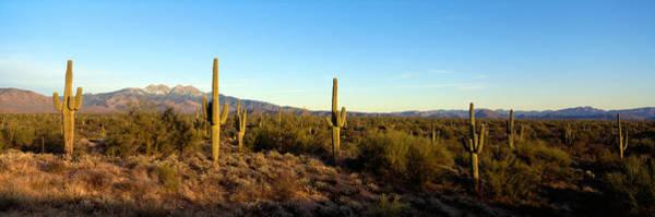 Saguaro Cacti In A Desert, Four Peaks Poster
