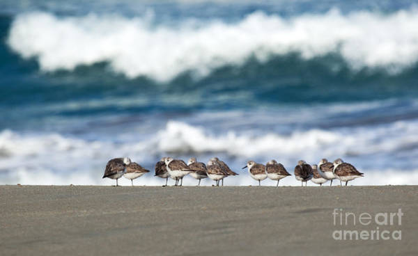 Sandpipers Keeping Warm On A Very Cold Day At The Beach Poster