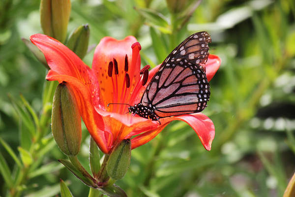 Saskatchewan Prairie Lily And Butterfly Poster