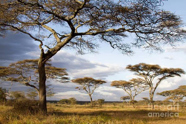 Savanna Acacia Trees  Poster