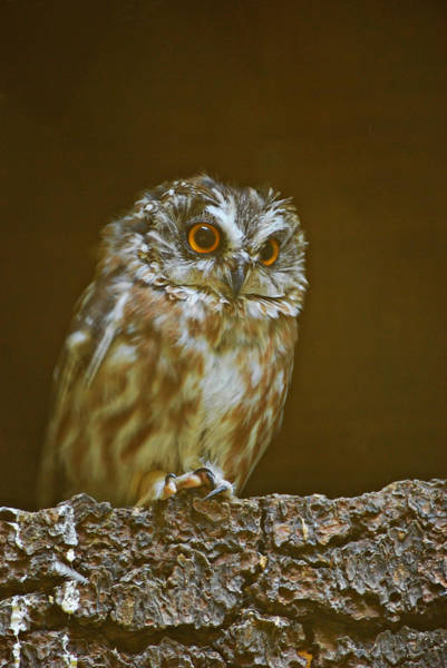 Poster featuring the photograph Saw-whet Owl by Michael Hubley
