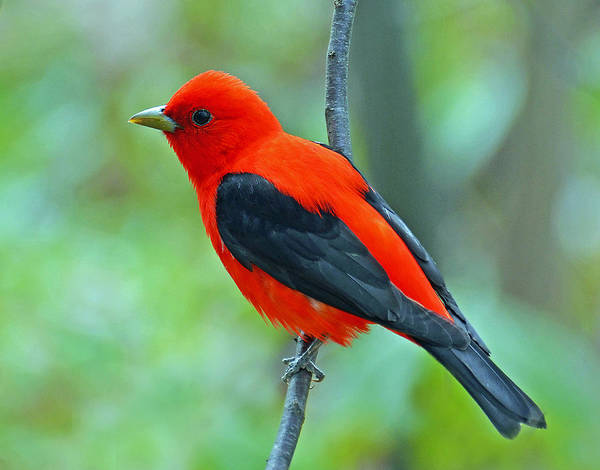 Scarlet Tanager Poster