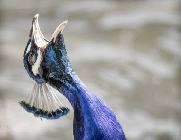 Screaming Peacock Poster