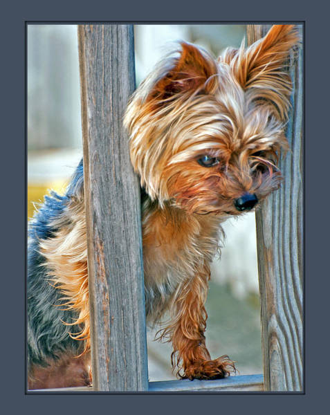 Poster featuring the photograph Scruffy Yorkie by Donna Proctor