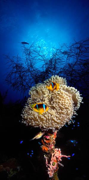 Sea Anemone And Allards Anemonefish Poster