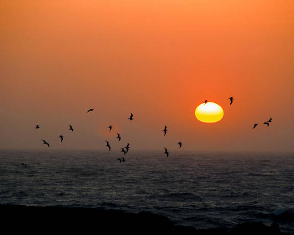 Poster featuring the photograph Seagull On Sunset by William Havle