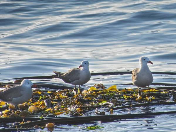 Seagulls In Victoria Bc Poster