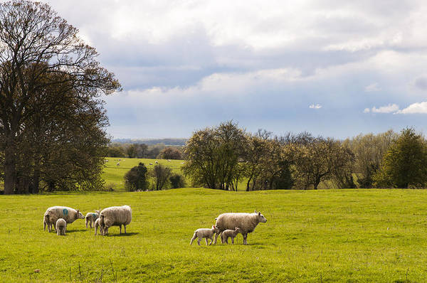 Sheep With Lambs Poster