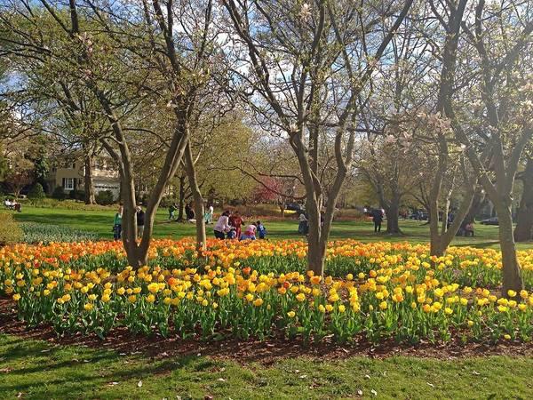 Sherwood Gardens Yellow Tulips Poster