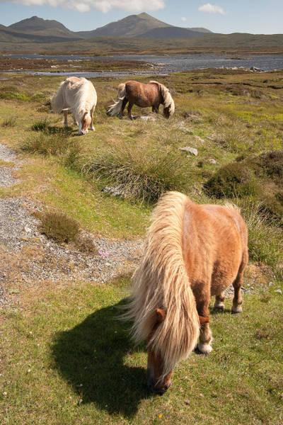 Shetland Ponies Poster