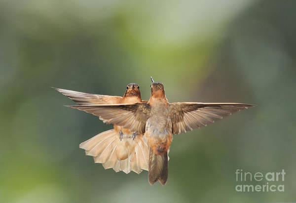 Shining Sunbeam Hummingbirds Poster
