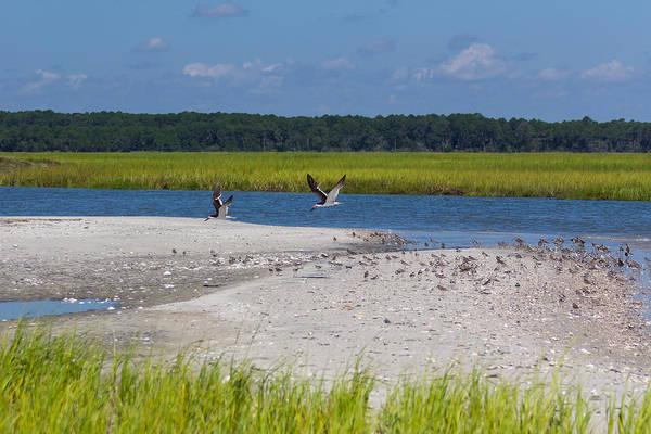 Shorebirds And Marsh Grass Poster