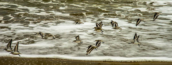 Shorebirds At Duck Poster