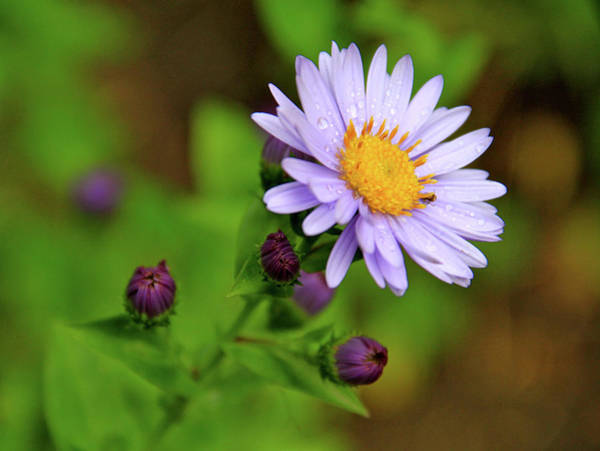 Showy Aster Poster