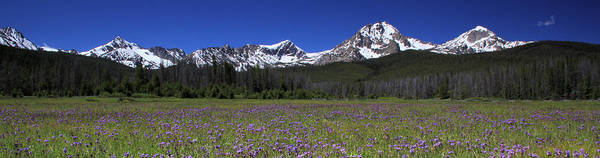 Showy Penstemon Wildflowers Sawtooth Mountains Poster