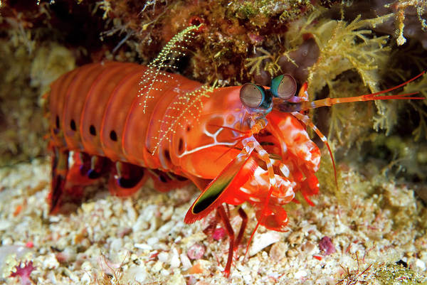 Shrimp On Ocean Floor, Raja Ampat Poster