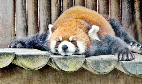 Sleeping Red Panda Bear Poster