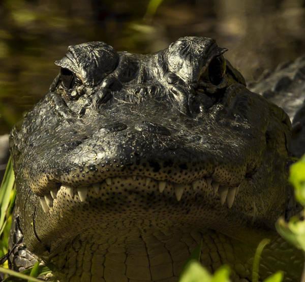 Smiling Gator Poster