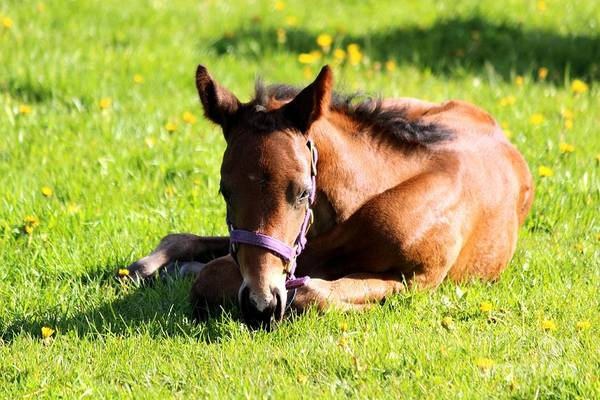 Snoozing Foal Poster