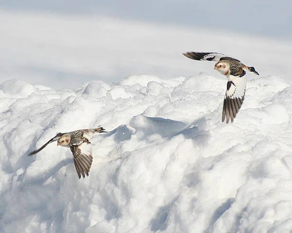Snow Buntings In Flight Poster
