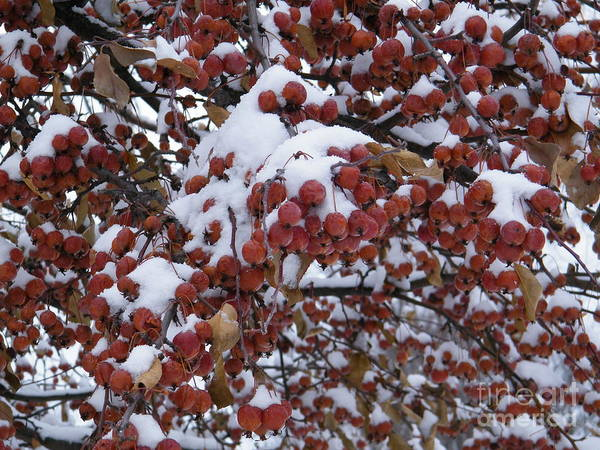 Snow Covered Berries Poster