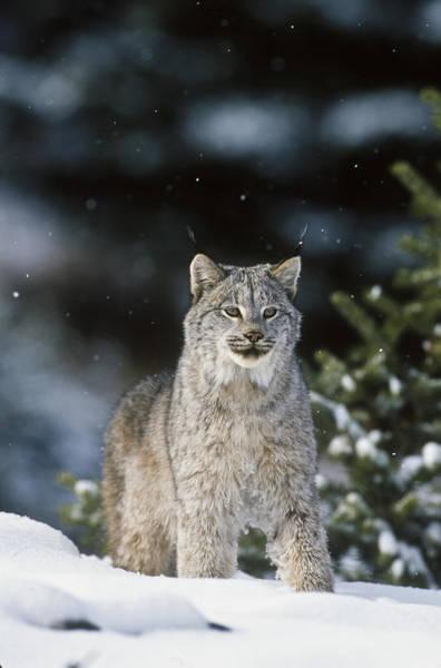Snow Lynx Poster