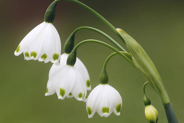 Snowdrops Poster