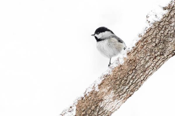 Snowy Chickadee Poster