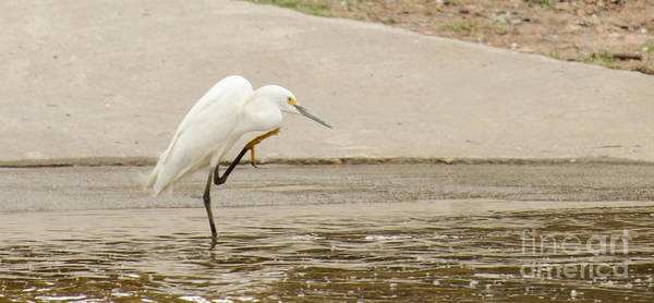 Snowy Egret Taking Advantage Of The Flood Poster